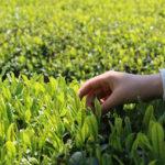 5月の「お城下マルシェ花園」のテーマは、「新茶を愉しむ」。